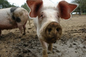 pig-farm-pigs-mud-dirty-snout